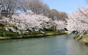 宇治川派流の桜の写真素材 [FYI01253974]