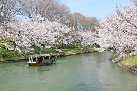 宇治川派流の桜の写真素材 [FYI01253975]