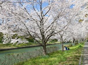 宇治川派流の桜の写真素材 [FYI01253976]