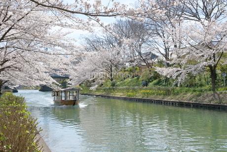 宇治川派流の桜の写真素材 [FYI01253978]