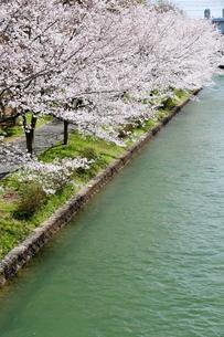 宇治川派流の桜の写真素材 [FYI01253979]