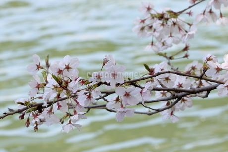 宇治川派流の桜の写真素材 [FYI01253981]
