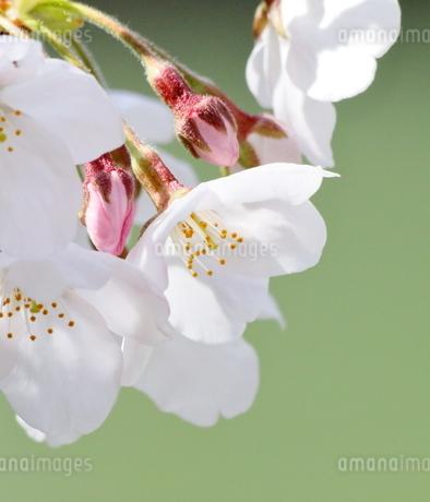 宇治川派流の桜の写真素材 [FYI01253982]