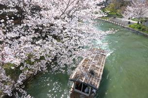 宇治川派流の桜の写真素材 [FYI01253984]