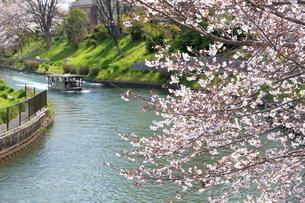 宇治川派流の桜の写真素材 [FYI01253985]