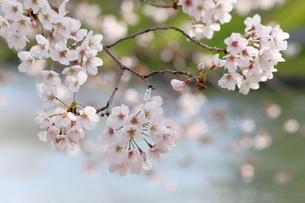 宇治川派流の桜の写真素材 [FYI01253986]