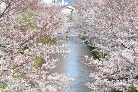 宇治川派流の桜の写真素材 [FYI01253987]