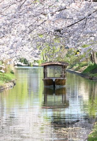 宇治川派流の桜の写真素材 [FYI01253989]