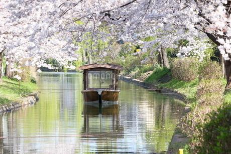 宇治川派流の桜の写真素材 [FYI01253991]