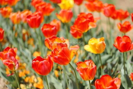 晴れた日の赤いチューリップの写真素材 [FYI01254056]