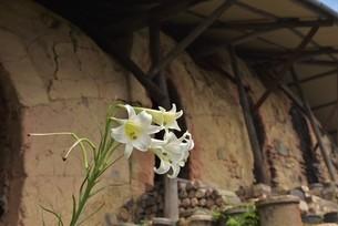 ゆりの花の写真素材 [FYI01254150]