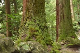 巨木の写真素材 [FYI01254153]