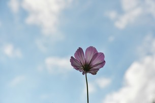 秋桜の写真素材 [FYI01254154]