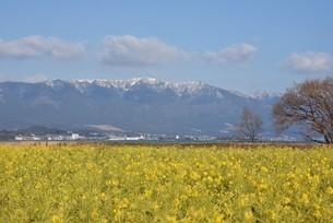 菜の花と雪山の写真素材 [FYI01254163]