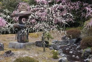 石灯籠と枝垂れ梅の写真素材 [FYI01254164]