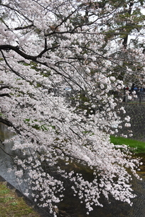 枝垂れ桜の写真素材 [FYI01254167]