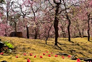 枝垂れ梅と椿の花の写真素材 [FYI01254170]