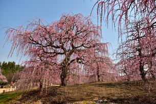 枝垂れ梅の写真素材 [FYI01254173]