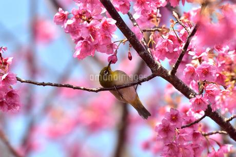 メジロと梅の写真素材 [FYI01254174]