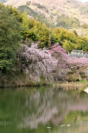 桜の写真素材 [FYI01254177]