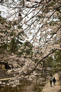 枝垂れ桜の写真素材 [FYI01254178]