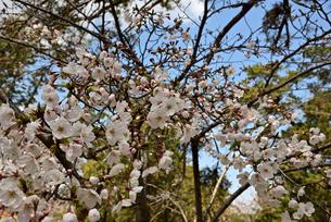桜の写真素材 [FYI01254180]
