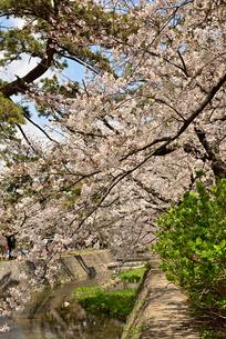 桜並木の写真素材 [FYI01254181]