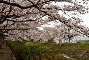桜並木の写真素材 [FYI01254185]