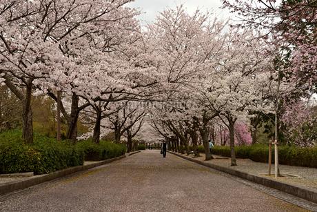 桜のトンネルの写真素材 [FYI01254187]
