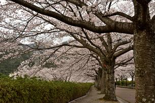 桜並木の写真素材 [FYI01254188]
