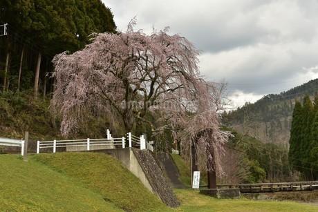 桜と吊り橋の写真素材 [FYI01254189]