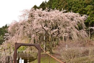 桜と吊り橋の写真素材 [FYI01254190]