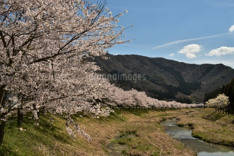 桜並木と青空の写真素材 [FYI01254191]