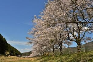桜と青空の写真素材 [FYI01254192]