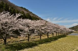 桜並木の写真素材 [FYI01254193]