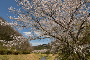 桜並木の写真素材 [FYI01254194]