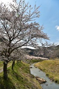 桜並木の写真素材 [FYI01254195]
