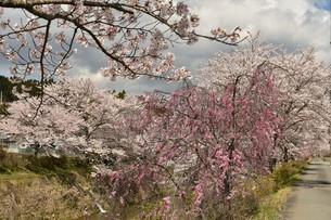 桜並木の写真素材 [FYI01254197]