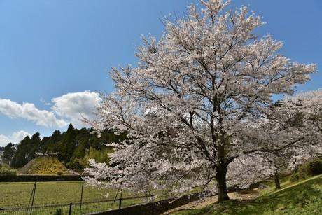 桜と茅葺屋根の写真素材 [FYI01254199]