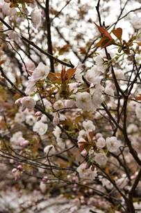 八重桜の写真素材 [FYI01254203]