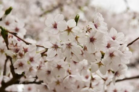 桜の花の写真素材 [FYI01254204]