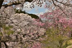 色々な桜の写真素材 [FYI01254205]