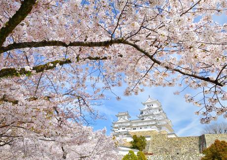 春の姫路城と満開の桜の写真素材 [FYI01254214]