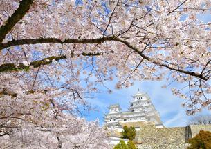 春の姫路城と桜の写真素材 [FYI01254214]
