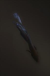闘う魚ベタのグラフィカルな写真の写真素材 [FYI01254257]