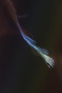 闘う魚ベタのグラフィカルな写真の写真素材 [FYI01254259]