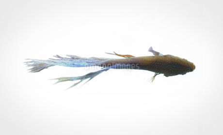 闘う魚ベタのグラフィカルな写真の写真素材 [FYI01254261]