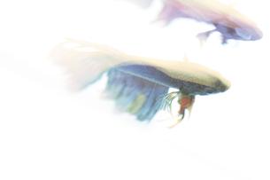 闘う魚ベタのグラフィカルな写真の写真素材 [FYI01254263]