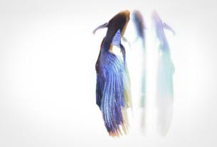 闘う魚ベタのグラフィカルな写真の写真素材 [FYI01254265]