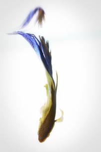 闘う魚ベタのグラフィカルな写真の写真素材 [FYI01254267]